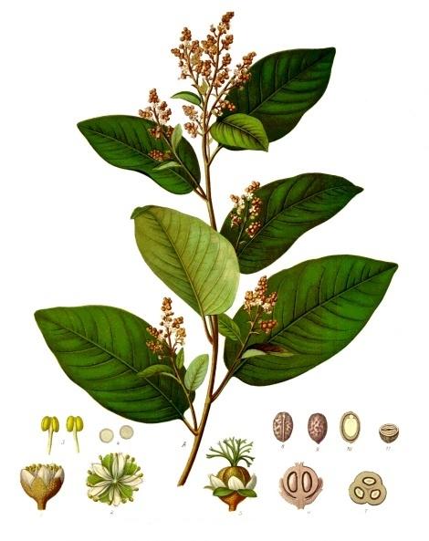 Cascarilla