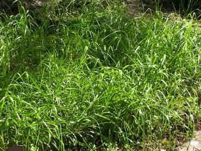 Erba dolce (Sweet grass - Hierochloe odorata)