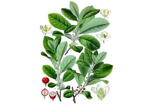 Ilex paraguai (yerva)