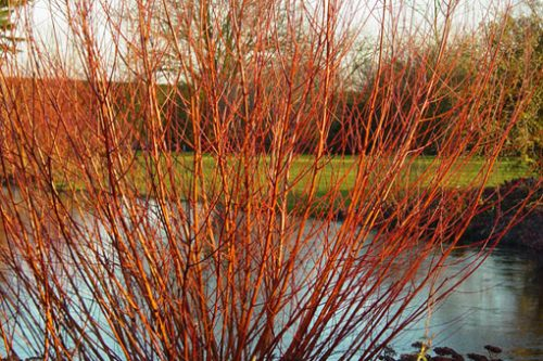 Salice rosso (red willow)