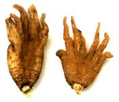 Lucky hand root (radice mano fortunata)