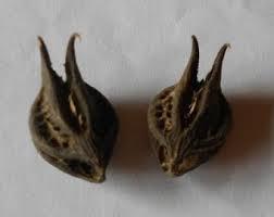 Bathead root